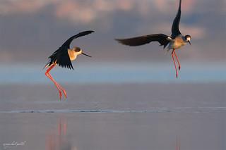 The early morning dance of Black-winged stilt !!