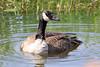 Papa Goose (PDX Bailey) Tags: bird goose water reflection ripple nature wild life wildlife state washington ridgefield national preserve grass reed pond lake