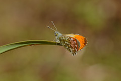 Orange Tip (microwyred) Tags: events nature butterflyinsect lepidoptera greencolor insect animal flower animalantenna orangecolor outdoors macro closeup butterfly orangetip wildlife beautyinnature multicolored fragility summer yellow plant animalwing