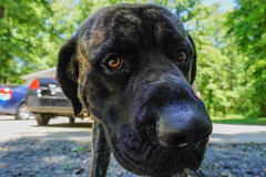 DSC02723 (_bazookatooth) Tags: sony a6000 dog mastiff southcarolina rockhill