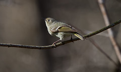 Ruby-crowned Kinglet (sarasonntag) Tags: spring migration male ruby crowned kinglets wehr nature center franklin wisconsin summer feeding bugs stop warbler april 2018 canada artic tiny bird