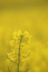 The Yellow Fields of Kent (Henry Hemming) Tags: oil seed rape field yellow flower beauty macro closeup