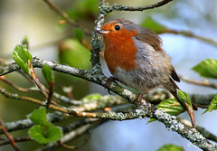 Robin from this week at Stover. (ronalddavey80) Tags: robin canon eos70d tamron 70300mm nature willife