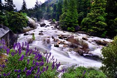 The Merced River Flows on By... (Yosemite National Park) (thor_mark ) Tags: alongbanksofmercedriver alongelportalrd brewerslupine capturenx2edited centralyosemitesierra colorefexpro day7 elportalrd fieldofwildflowers hillsideoftrees landscape largebouldersinriver lookingne lupinusbreweri mercedcanyon mercedriver mountainvalley mountains mountainsindistance mountainsoffindistance nature nikond800e outside overcast pacificranges project365 rapids river riverbank sierranevada trees triptopasoroblesandyosemite waterrapids wildflowers yosemitenationalpark yosemitevalley yosemiterittersierranevada california unitedstates