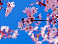 Spring (docwiththecamera) Tags: flower tree sky blue pink cherry