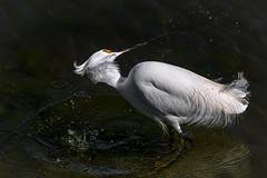 The shake (bodro) Tags: bolsachica bird birdphotography droplets ecologicalreserve egret featherdetails shake shallows snowy wetlands