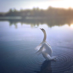 Angel Wings (M a r i k o) Tags: iphone iphonex iphoneography iphonephotography mobile mobilephotography mariko square swan schwan bird animal lake angel engel wings morning ripples kronthalerweiher erding bayern bavaria germany snapseed tadaaslr lenslight hipstamatic