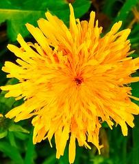 Me, all crumbled up in the arms of my loved one (evakongshavn) Tags: dandelion yellow light natur nature naturelife naturesubjects naturephotography flowers flower løvetann blomst macroshot macro makro