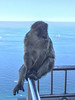 Gibraltar (alison.velvet) Tags: gibraltar barbaryape monkey