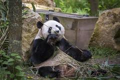 Panda (DeanB Photography) Tags: panda bär bären baer china fressen canon tiere tier tierpark tierwelt tierfotograf animal animals