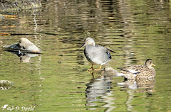Couple de Chipeaux 04 (jean-daniel david) Tags: oiseau oiseaudeau canard canardchipeau eau réservenaturelle reflet yverdonlesbains volatile couple duo animal