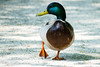 Duck (KPPG) Tags: duck ente animal tier vogel bird 7dwf fauna