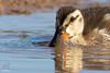 Closeup Cuteness (Jasper's Human) Tags: bird water riparianpreserveatwaterranch mallard duckling cute