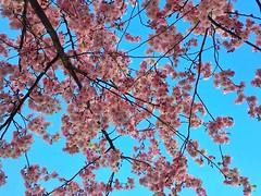 Spring💗 (Laura Rozentāle) Tags: flower flowers sky pink iphone photography photo city park friendship tree sacura sakura beautiful riga latvia spring
