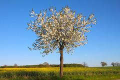 (Elbmaedchen) Tags: baum frühling mai raps natur schleswigholstein tree springtime rapsblüte blüte