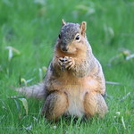 Squirrels in Ann Arbor at the University of Michigan (May 7th, 2018) thumbnail