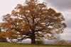 Geneseo Oak (rochpaul5) Tags: oak mighty livingston fall autumn ny new york geneseo