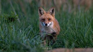 Red Fox - Vulpes vulpes   2018 - 12