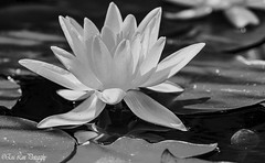 The water lily bw (4snickers) Tags: pasadena california unitedstates us flower lily pond water delicate tranquilpeaceful blackandwhite nature