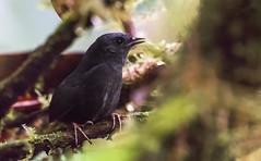 Scytalopus alvarezlopezi - Tatamá Tapaculo - Tapaculo Alto de Pisones 01 (jjarango) Tags: avesdecolombia aves avistamiento avesde birding birdingcolombia birdwatching birdsofcolombia birdsorcolombia