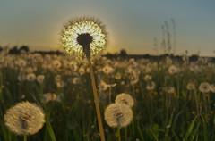 Dandelions Dancing in the Sun (Saibot7791) Tags: dandelion löwenzahn pusteblumen house feld wald forest wooden deep typical sun soleil sonne dentdelion pissenlit cramaillot field