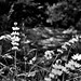 Wildflowers and a Backdrop of the Merced River (Black & White)