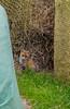 Kleiner Fuchs (matthias_oberlausitz) Tags: kleiner fuchs fox rotfuchs welpe fuchswelpe jungtier oberlausitz
