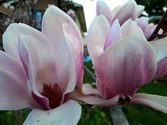 the beauty of magnolias (angelinas) Tags: flower magnolias macros macrophotography natureza natura nature fleurs blossom trees springflowers arbre primavera springtime printemps outdoorphotography naturelover delicate