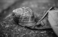 Snail shell B/W (John Campbell 2016) Tags: snailshell blackandwhite blackandwhitephotography nature photography naturephotography spiral inmybackgarden closeup macrophotogathy macro canon1300d canonphotography canon