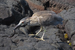 heron with prey (BarryFackler) Tags: shorebird honaunaubay hawaii nycticoraxnycticorax aukuu bird aves avian heron wings nnycticorax hawaiiisland beachpark shore coast pacificocean animal tropical westhawaii nature marine zoology honaunaubeachpark southkona eel fish moray morayeel lavarock shoreline coastal water aquatic vertebrate 2018 life beach kona ocean hawaiicounty ecology island polynesia sea fauna honaunau konacoast hawaiianislands barryfackler barronfackler pacific creature predation predator prey feathers blackcrownednightheron