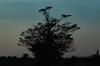 Before Nightfall (John Neziol) Tags: jrneziolphotography portrait landscape silhouette tree treeline outdoor nature blue sky bluesky bluehue brantford beautiful nikon nikondslr nikoncamera nikond80 naturallight