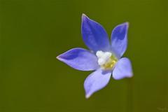 ヒナギキョウ Southern rockbell (takapata) Tags: sony sel90m28g ilce7m2 macro nature flower