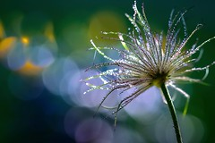The beautiful life of a Pulsatilla vulgaris (sylviafurrer) Tags: küchenschelle kuhschelle pulsatillavulgaris blume flower natur nature fleur pasqueflower anemonepulsatilla bokeh