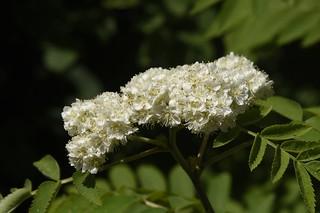 Blüte der Eberesche (Sorbus aucuparia); Bergenhusen, Stapelholm (8)