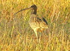 The curlew in the field... (irio.jyske) Tags: nature naturephoto naturepictures naturephotograph naturepic naturescape naturephotos naturephotographer naturepics natural field straws animal bird curlew colors spring sharp nice beauty