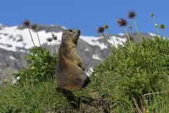 Marmotta in contemplazione (Ricky_71) Tags: marmot mountain wild summer nikon