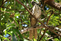 Female Koel (immature) (aussiegypsy_Katherine NT) Tags: koel easter pacific eudynamys cyanocephalus orientalis cuckoo cuculidae family rainbird stormbird animal animalia chordata aves cuculiformes broodparasite buff brown mottled juvenile young immature common australia australian aussie aussiegypsy lorraineharris nt northernterritory tropics tropical topend katherine emungalan garden backyard forest canopy large bird birdlife wild wildlife outdoors nature full body frontview longtail barred