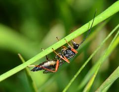 Ichneumon (John_E1) Tags: ichneumon wasp insect macro closeup