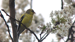 20180428 American Goldfinch (plumheadedfinch) Tags: birds passeriformes fringillidae spinus spinustristis americangoldfinch pennsylvania month04april 2018