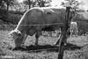 petite balade en campagne (Fotomaniak 53) Tags: vache campagne mayenne 53 fotomaniak53