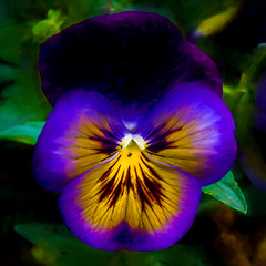 purple fringed pansy (Pejasar) Tags: pansy blue yellow purple painterly digitalcreations flower bloom blossom color beauty single