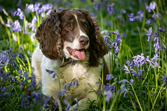 Woody in Bluebells (Mr F1) Tags: woody springerspaniel dog canine mutt bluebells seasonal flowers