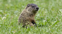 Groundhog Jr. (Steve Gifford - IN) Tags: groundhog woodchuck hueston woods state park preble county oxford ohio steve stevengifford picture photo photograph nature wildlife bird