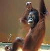 orangutan Sabbar Ouwehand BB2A5941 (j.a.kok) Tags: orang orangutan orangoetan animal aap ouwehands ape mammal monkey mensaap zoogdier dier primaat primate asia azie sabbar