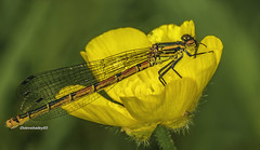 Large red female damselfly on a buttercup (stevenbailey7) Tags: damselflies coenagrionidae insects nature wildlife new flora fauna countryside colourful walk spring tamron garden buttercup flower colour insect yellow red closeup light flickr colours