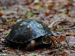 DSC00189 (scott.showak) Tags: turtle pennsylvania beltzville state park nature