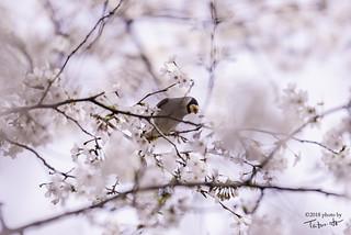 背割堤の桜,八幡,京都