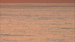Dolphin Pod Off Seaton Sluice (Gilli8888) Tags: seatonsluice northumberland northsea video dolphins pod mammals sea water coast coastal sunrise dawn nikon p900 coolpix