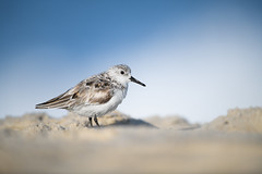 Sanderling (nikunj.m.patel) Tags: shorebird sanderling nature wild bird avian spring shore ocean water nikon naturephotography chincoteague virginia wildlife wildlifephotography