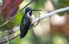 IMG_1261 Long-billed Starthroat (suebmtl) Tags: bird birding panama hummingbird longbilledstarthroat paraiso birdingparadise chiriquiprovince heliomasterlongirostris